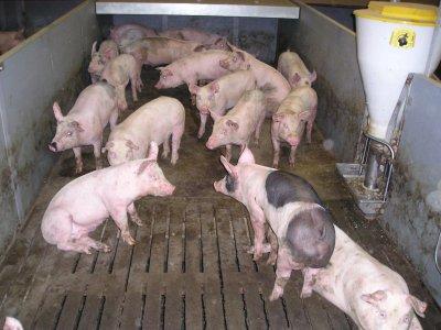 Erfaren medarbejder søges til slagtesvin